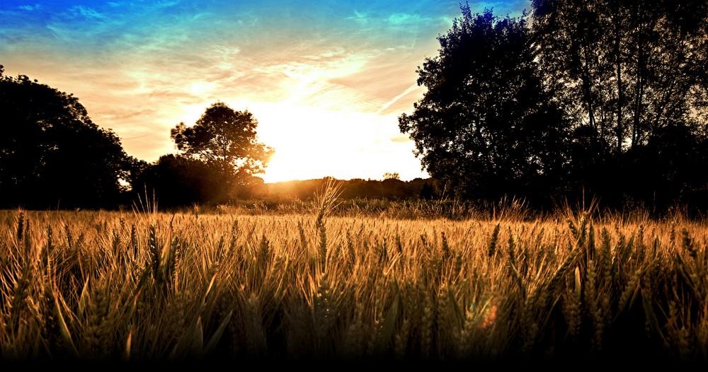 landschap met graanveld
